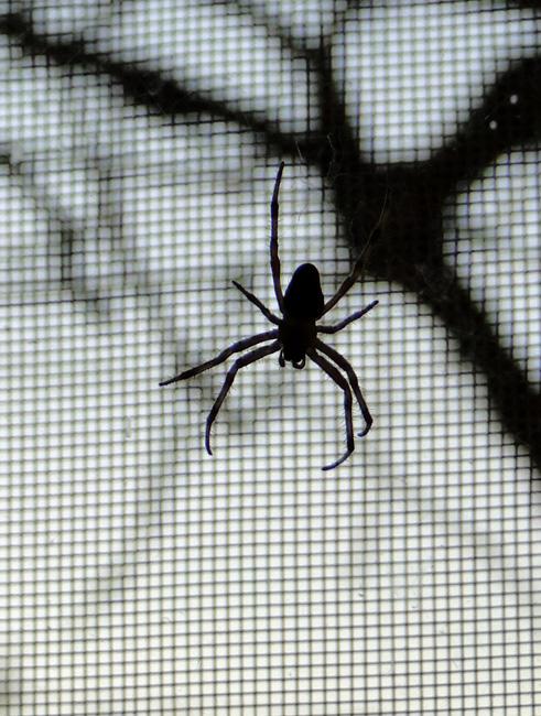 Házi pók