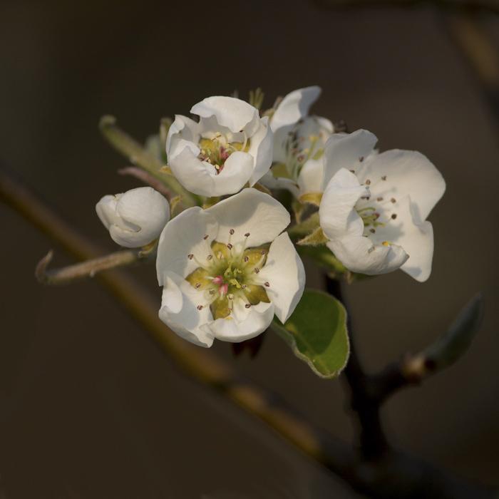 Vilmos virága