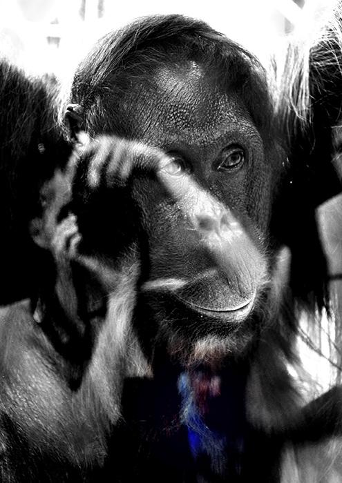 majom a ketrecben