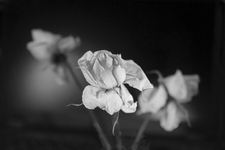 Rózsa közeli