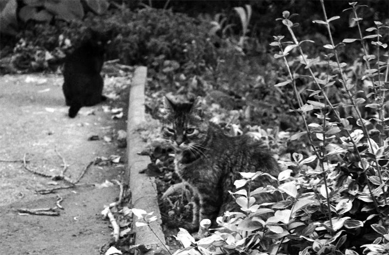 Budai macskák