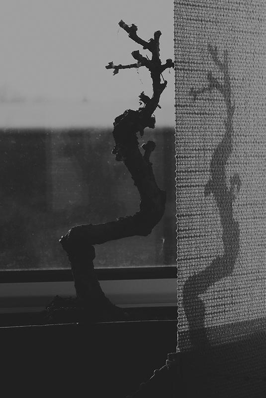 365/221 - a bonsai sikolya