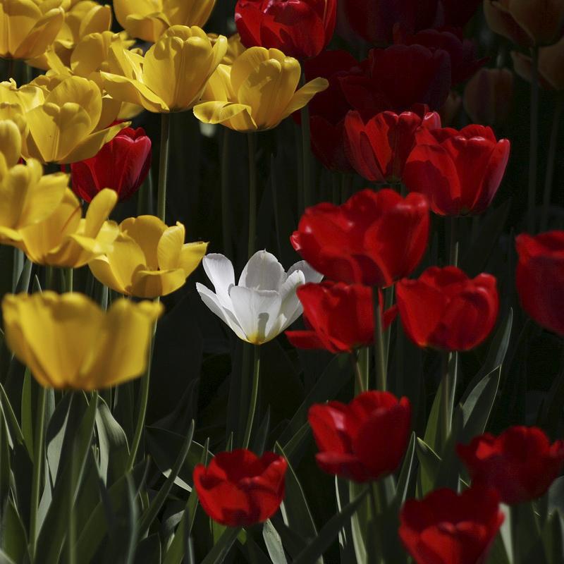 365/321 - Tulipánok