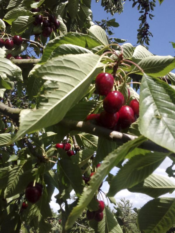 Cseresznyés