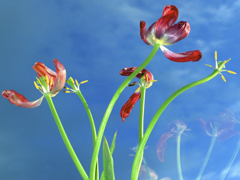 Telibevakuzott tulipánok