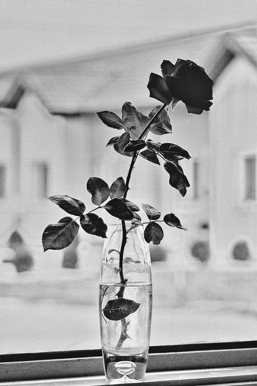 Rózsa az ablakban
