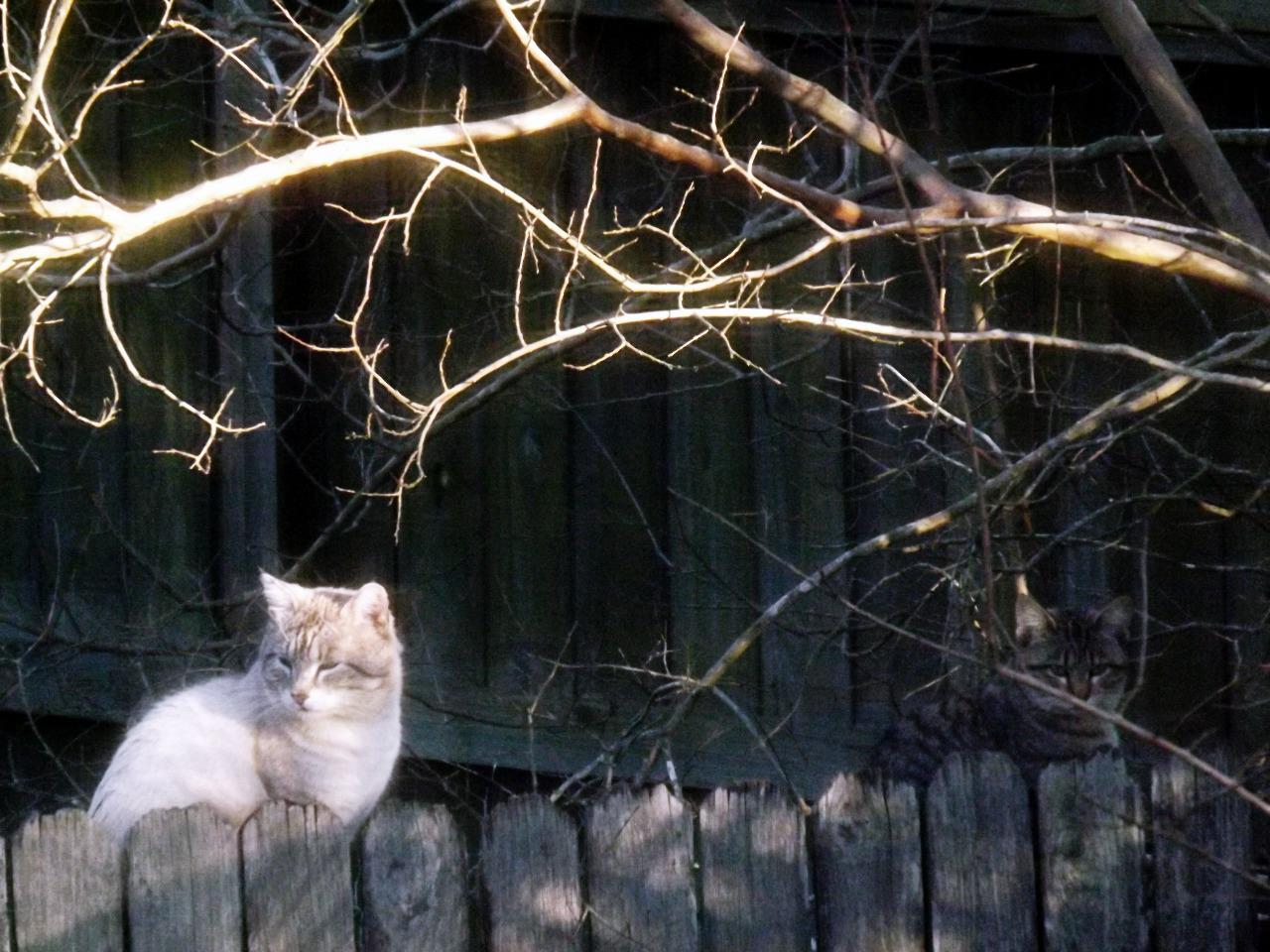 240/365 Két macska a kerítésen