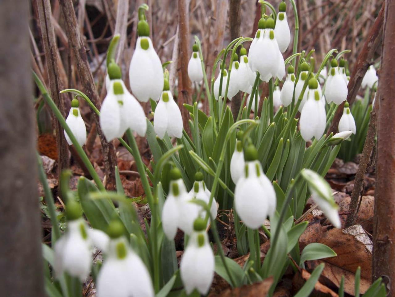365/248 - Hóvirágok