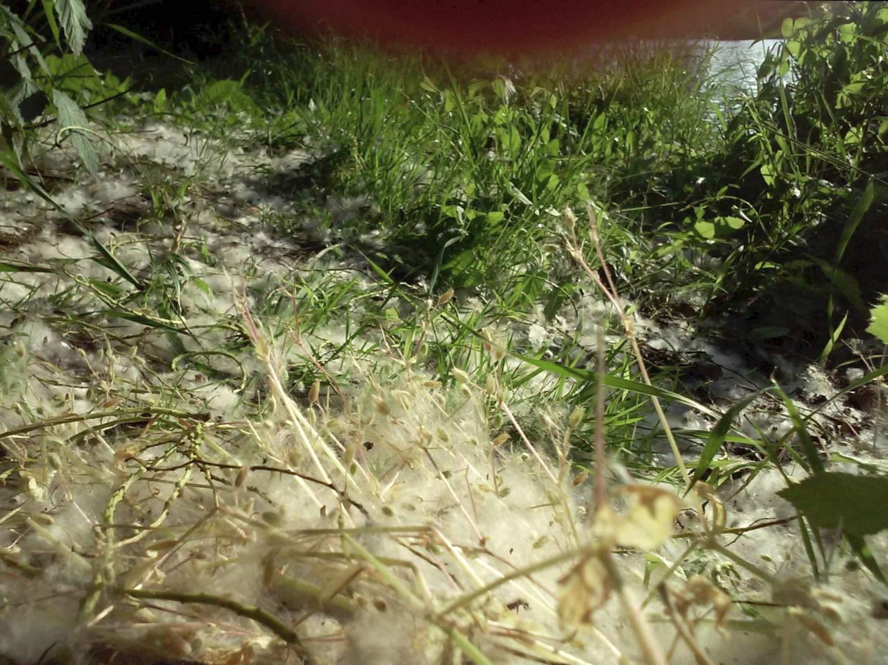 365/328 - Nyárfaszöszmösz-áradás