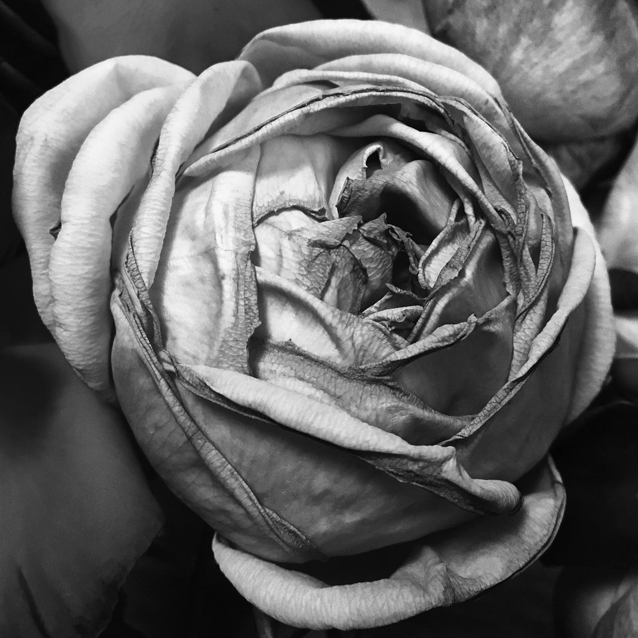 365/337 - Rózsa feketében