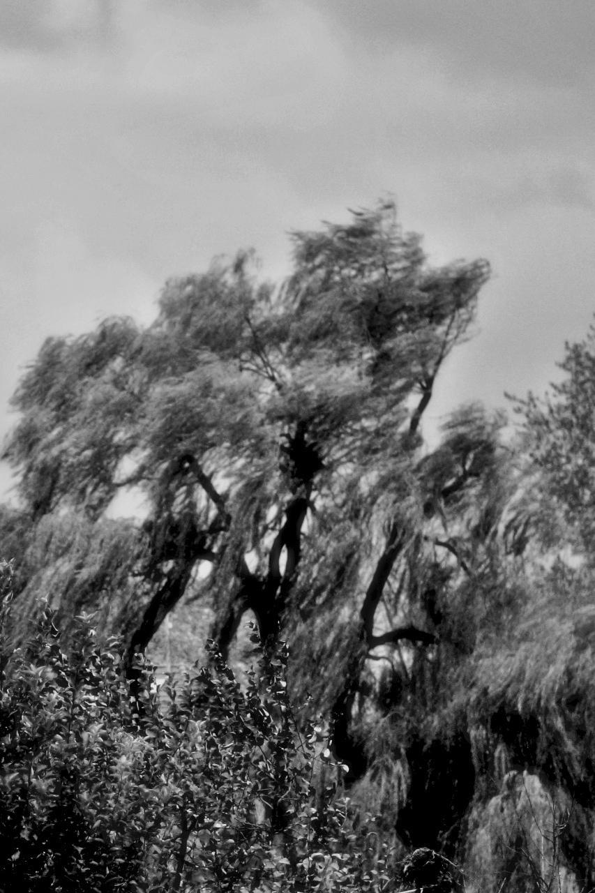Fűzfaágak a szélben