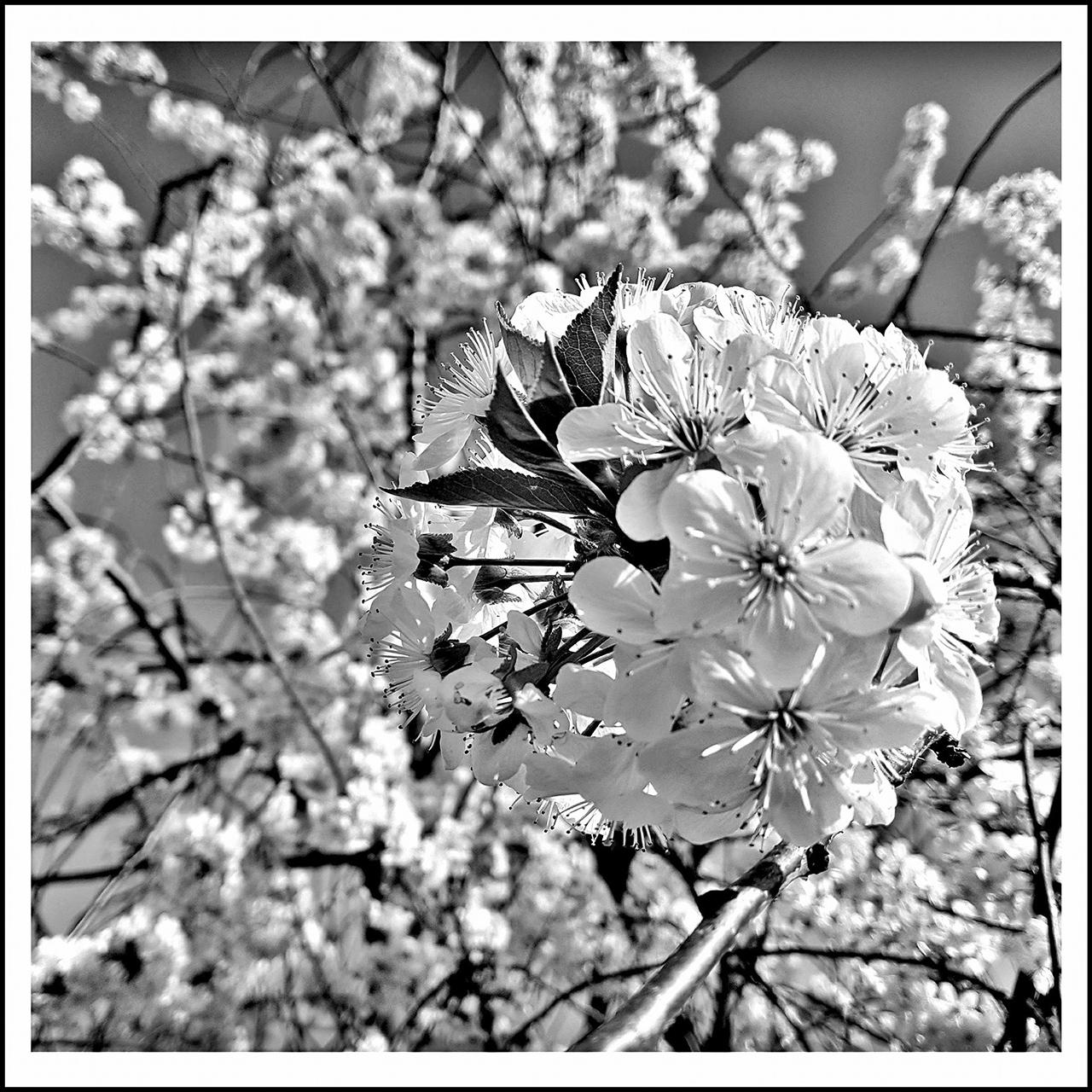 Virágzik a meggyfa