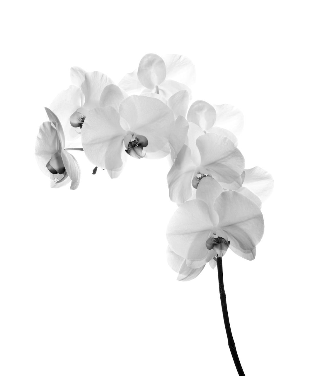 Újabb kísérlet az orchidea megszelidítésére