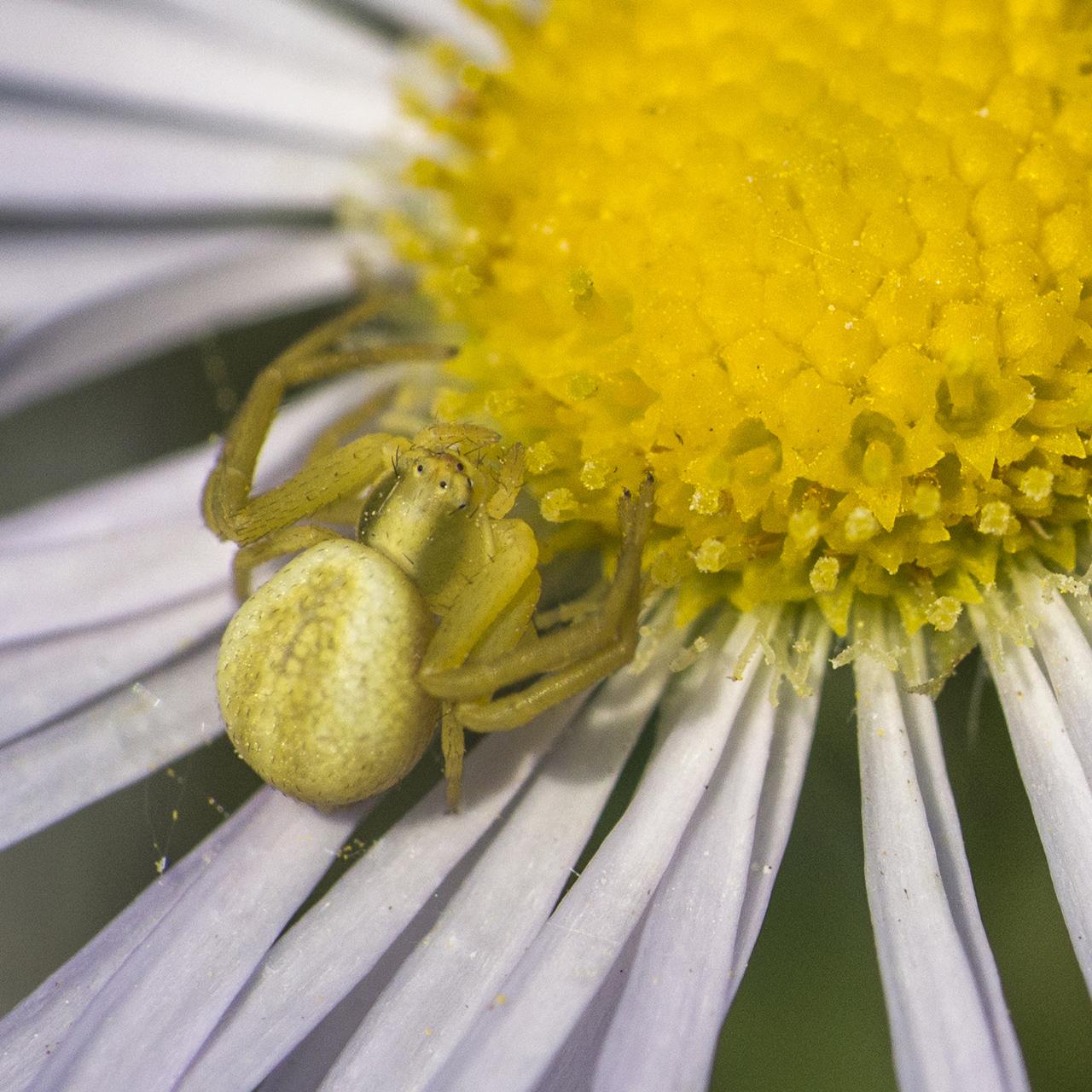 Virágpók