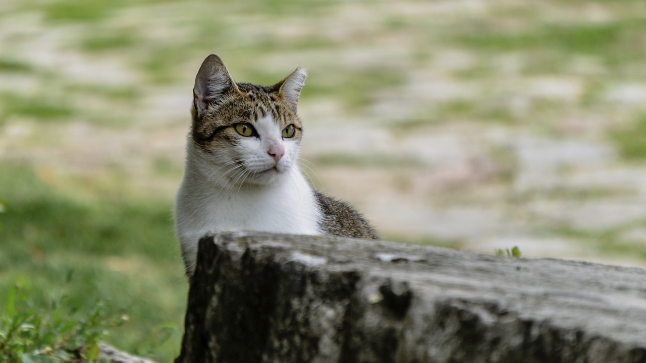 A Tatai Vár egyik macskája