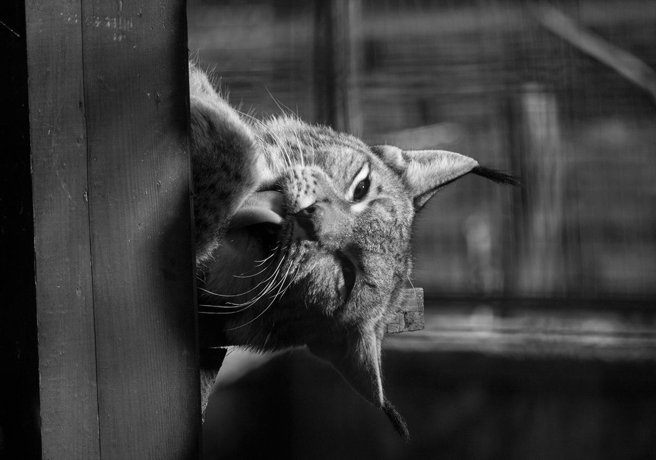 (Vad)macska