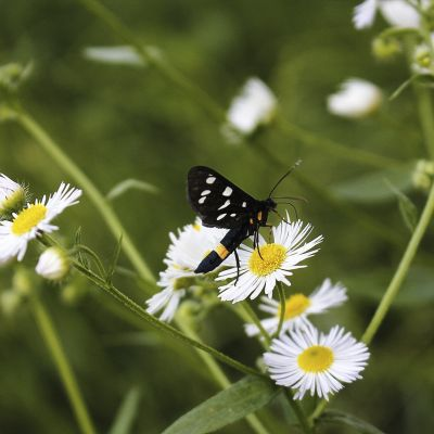 Fekete pillangó