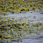 365/95 - A sárga vízitök virágos mezején