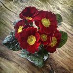 365/258 - Piros virág