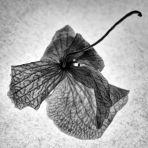 P366/321 - orchidea ii