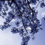 365/312 - Csereszenye - kék-fehérben