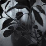 365/350 - Ficus Ginseng