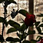 365/365 - Ismét rózsák
