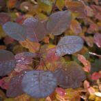 365_115_galagonya-az ősz színei