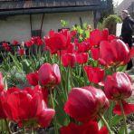 365/287 - Tulipánok